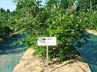 ブルーベリー品種ブルーレイ