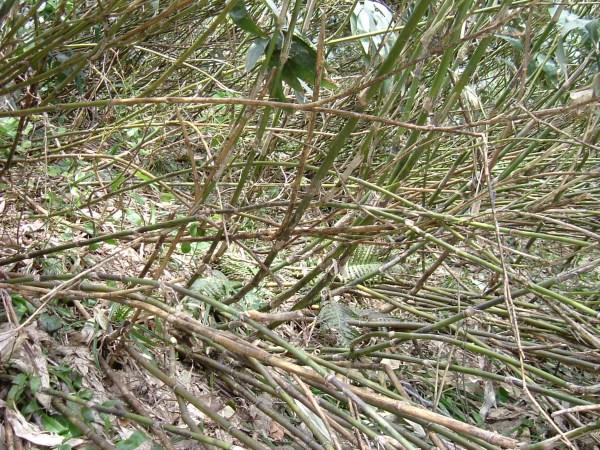 こんな笹やぶの地面から筍を探します