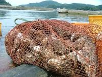 天然岩牡蠣は素潜り漁3