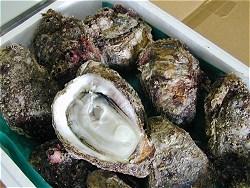 天然岩牡蠣発送姿