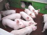 三元豚子豚