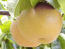 シャキシャキで甘い和梨